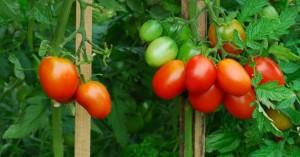 Выращивание_помидоров_видео